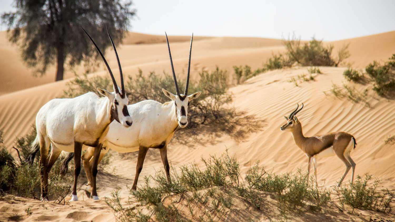 """في الإمارات """" محمية دبي الصحراوية """""""